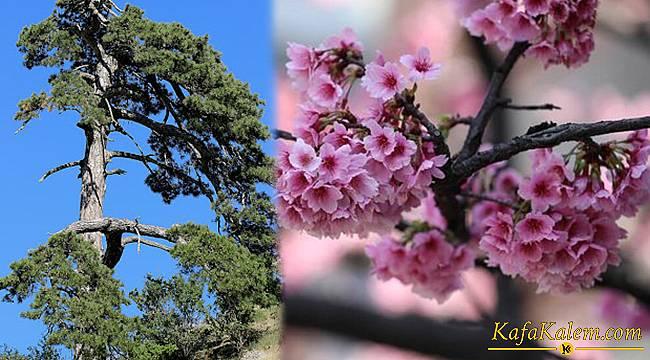 Başakşehir Hastanesine verilen çam ve sakura ağacının önemi; Türk Japon kültürünün yansıması
