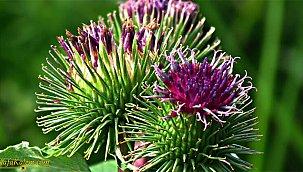 İsmiyle dikkat çeken bir bitki; dulavrat otu nedir, faydaları nelerdir?